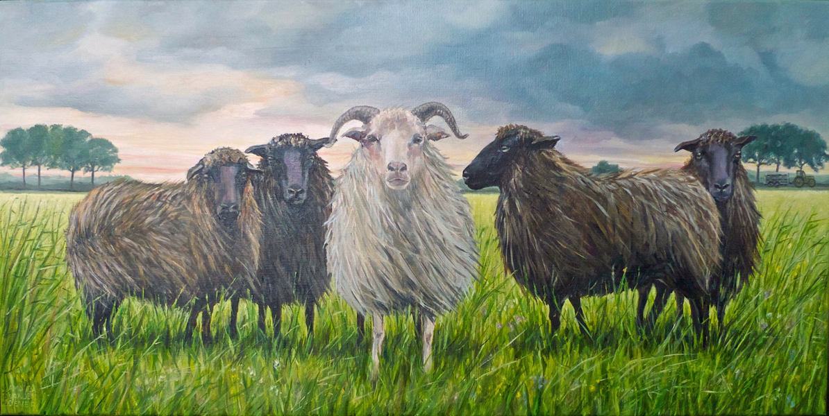 schapen in de wind