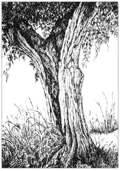old pollard willow